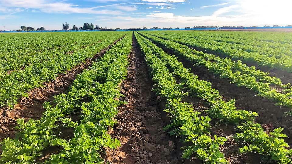 Más de 6,600 hectáreas sembradas con hortalizas en el Valle de Mexicali -  Periodismo Negro
